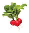 Green Top Red Radish Bunch